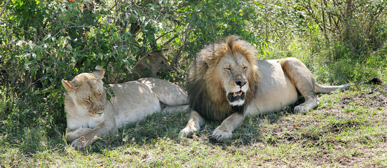 Close view of a lion and lioness resting near bush of masai Mara