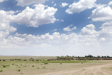 Wildebeest waiting to migrate across the Mara river