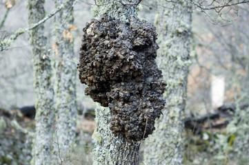 Tumoración en Quercus Robur
