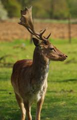 fallow deer portrait 3