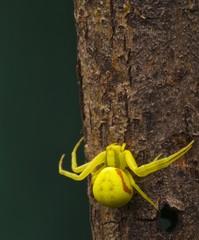 ragno giallo fondo verde scuro