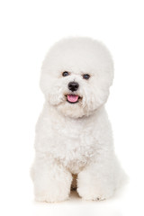 Bichon dog sitting on a white background