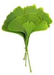 ginkgo biloba leaves isolated on white background