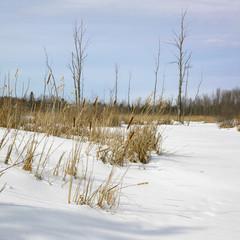 Grass in snow covered landscape, Orangeville, Dufferin County, O