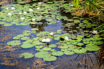 White lotus flowers in a pond, Tobermory, Ontario, Canada