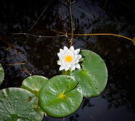 White lotus flower in a pond, Tobermory, Ontario, Canada