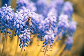 blue spring flowers with bee