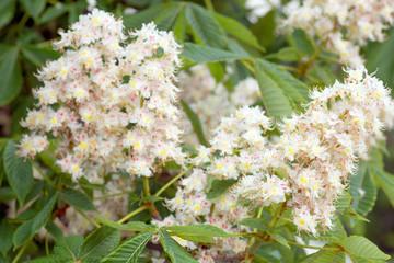 Blüten von einem Kastanienbaum