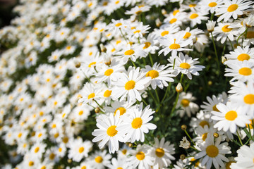 Beautiful white daisy