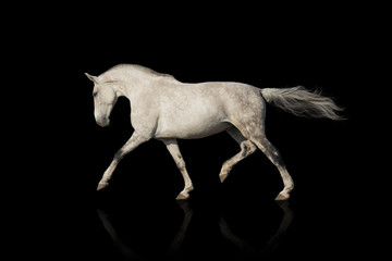 Whiter horse isolated on black background