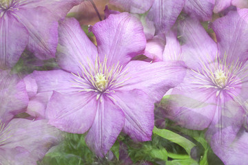 Purple Clematis Floral Background