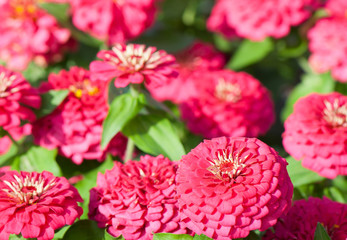 Group of Zinnia Flowers in the garden