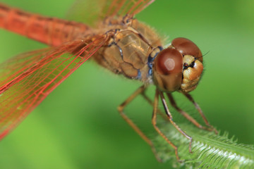 beautiful red dragonfly, small wildlife in natural