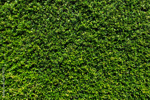 Green leaves wall background - 64774573