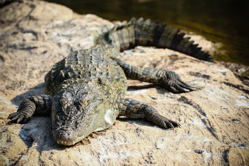 Basking crocodile