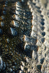 Crocodile scales