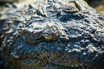 Crocodile closeup