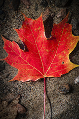 Red maple leaf in water