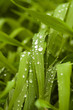 Зелёная трава после дождя