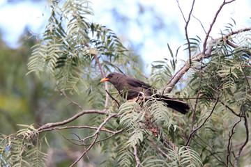 Great Thrush (Turdus fuscater) in Ecuador
