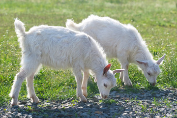 two small goat in the grass