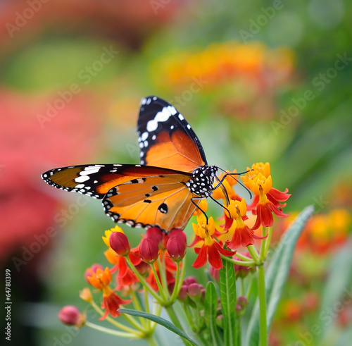 Keuken foto achterwand Vlinder Butterfly on orange flower