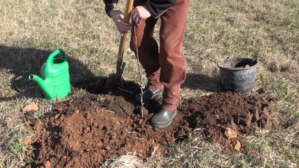 worker in farm orchard planting young apple tree sprout