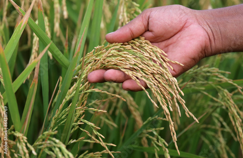 Paddy seeds holding by hand - 64781769