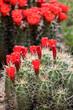 Claret-cup cactus flowers (Echinocereus triglochidiatus)