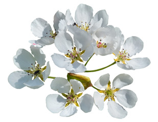 Flowers of pear 8