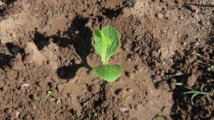 cucumber seedling growing garden soil irrigated watering