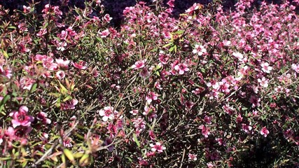 Thicket of a Blooming Leptospermum (Pink Tea Tree).