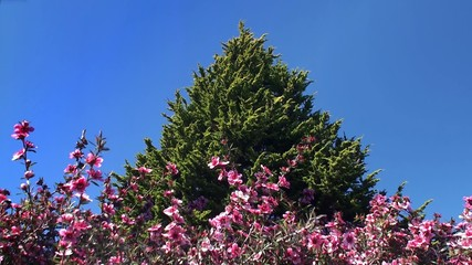 Blooming Leptospermum & Lone conifer tree on background.