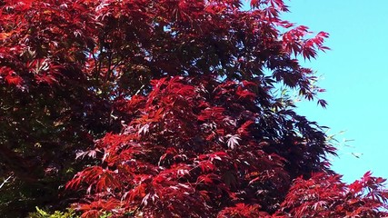 Smooth Japanese Maple (Acer Palmatum) red color.