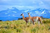 guanacos on mountain