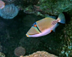 Picasso triggerfish at Eilat coral reef