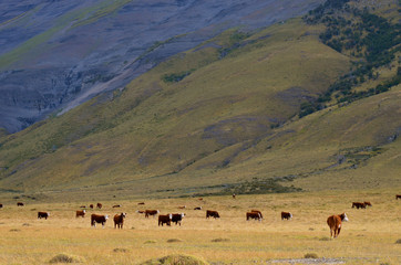 Cattle grazing in a Patagonian valley