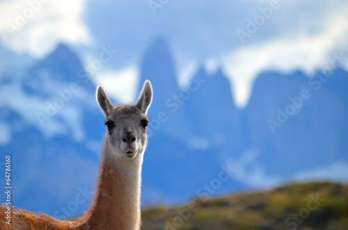 Foto op Plexiglas Lama guanaco