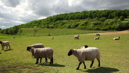 The herd of sheep eating grass on spring meadow