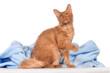 LaPerm Katze rot  sitzend mit erhobener Pfote
