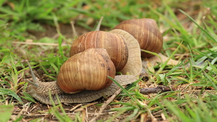 Burgundy snails (Helix pomatia) timelapse