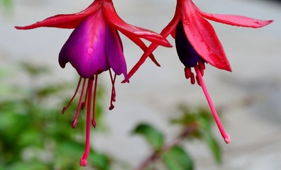 Bright fuchsia flower and leaves