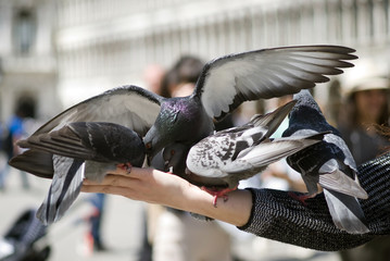 Pigeons feeding on hand