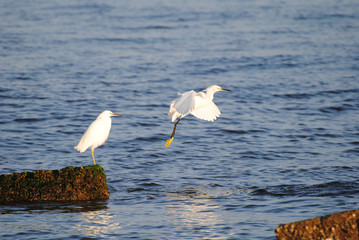 Jumping snowy egret