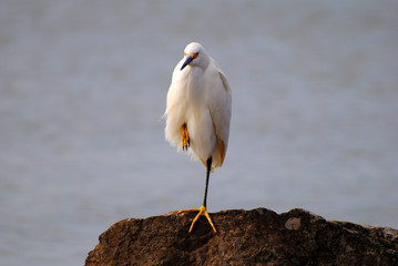 Snowy egret on an ocean rock