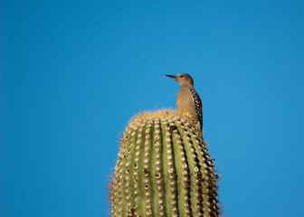 Gila woodpecker on a saguaro
