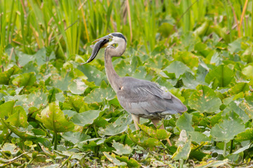 Great blue heron swallowing a fish