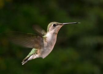 Ruby throated hummingbird in flight