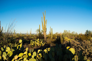 Sunrise in a saguaro forest