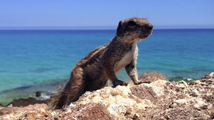 African ground squirrel (Xerus inaurus) in Fuerteventura
